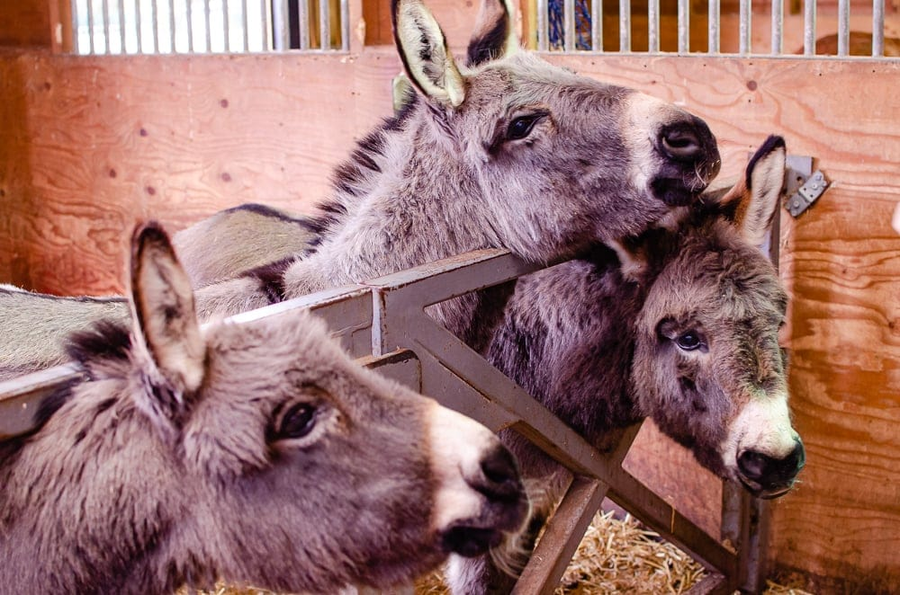 Donkeys at Barleylands farm