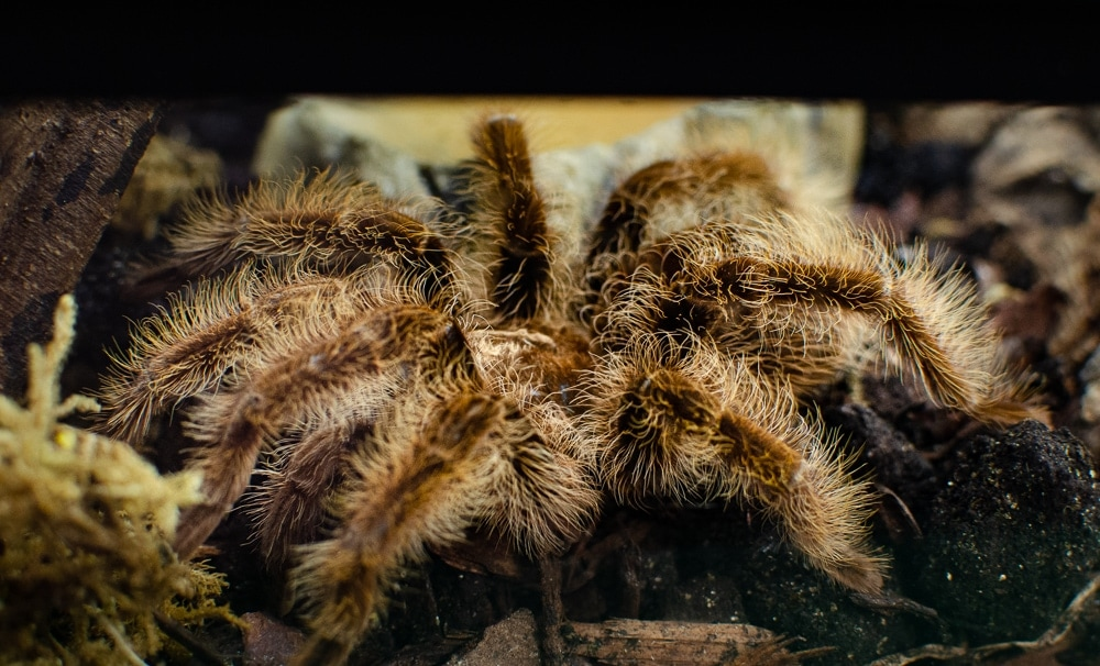 Curly haired Tarantula at Barleylands Farm